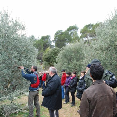Démonstration taille des oliviers au domaine Terre de Mistral